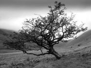 661323_lonely_hawthorn_tree_3